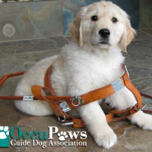 Occupaws - Guide Dog Training and Placement